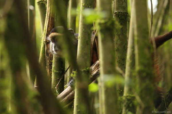 The first curious golden monkey peaks his head through the bamboo