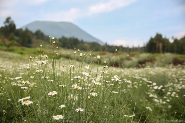 Fields of pyrethrum flowers carpet the foothills of Mount Bisoke